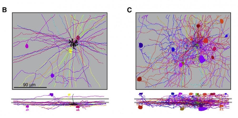 אוכלוסיות תאים שיוצרות סינפסות עם התאים הדו-קוטביים. מתוך המאמר